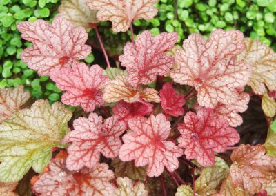 After removing summer annuals that are past their prime, fill in the gaps in your containers with evergreen perennials, such as coral bells
