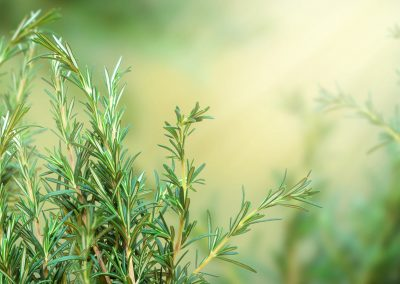 Evergreen herbs like rosemary add scent and texture to cool-season gardens.