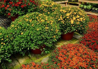 September is the time to plant mums!