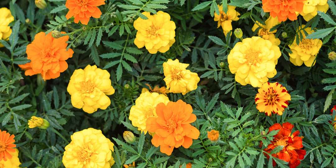 Marigolds bring fall colors to your garden