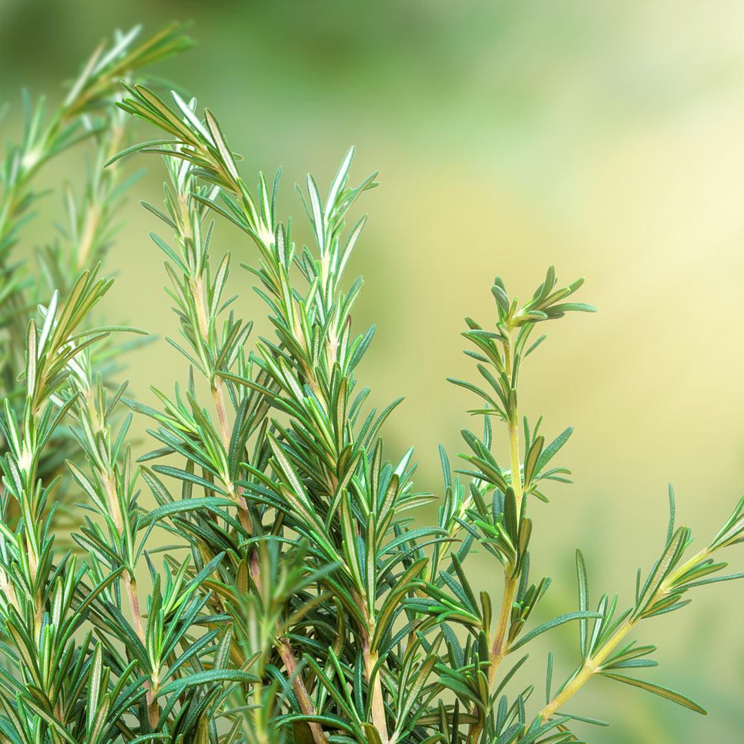 Focus on Evergreen Herbs Like Rosemary