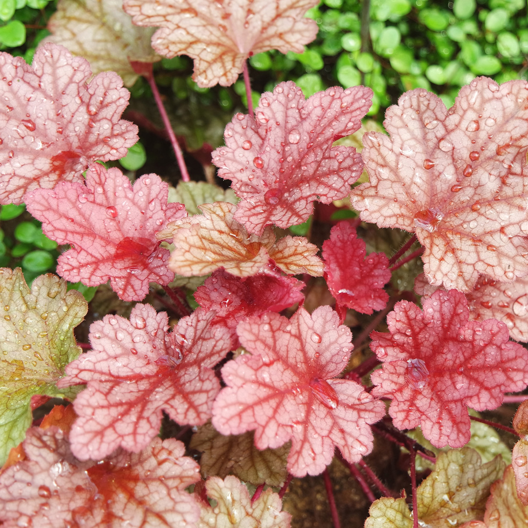 Add Cool-Season Flowers Like Coral Bellsand Evergreen Perennials to Your Container Gardens