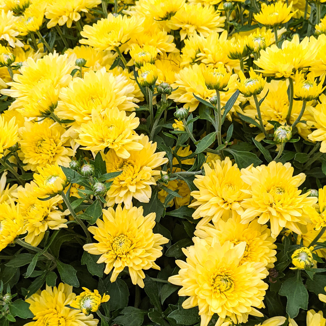 Mums are perennial when planted in the ground!