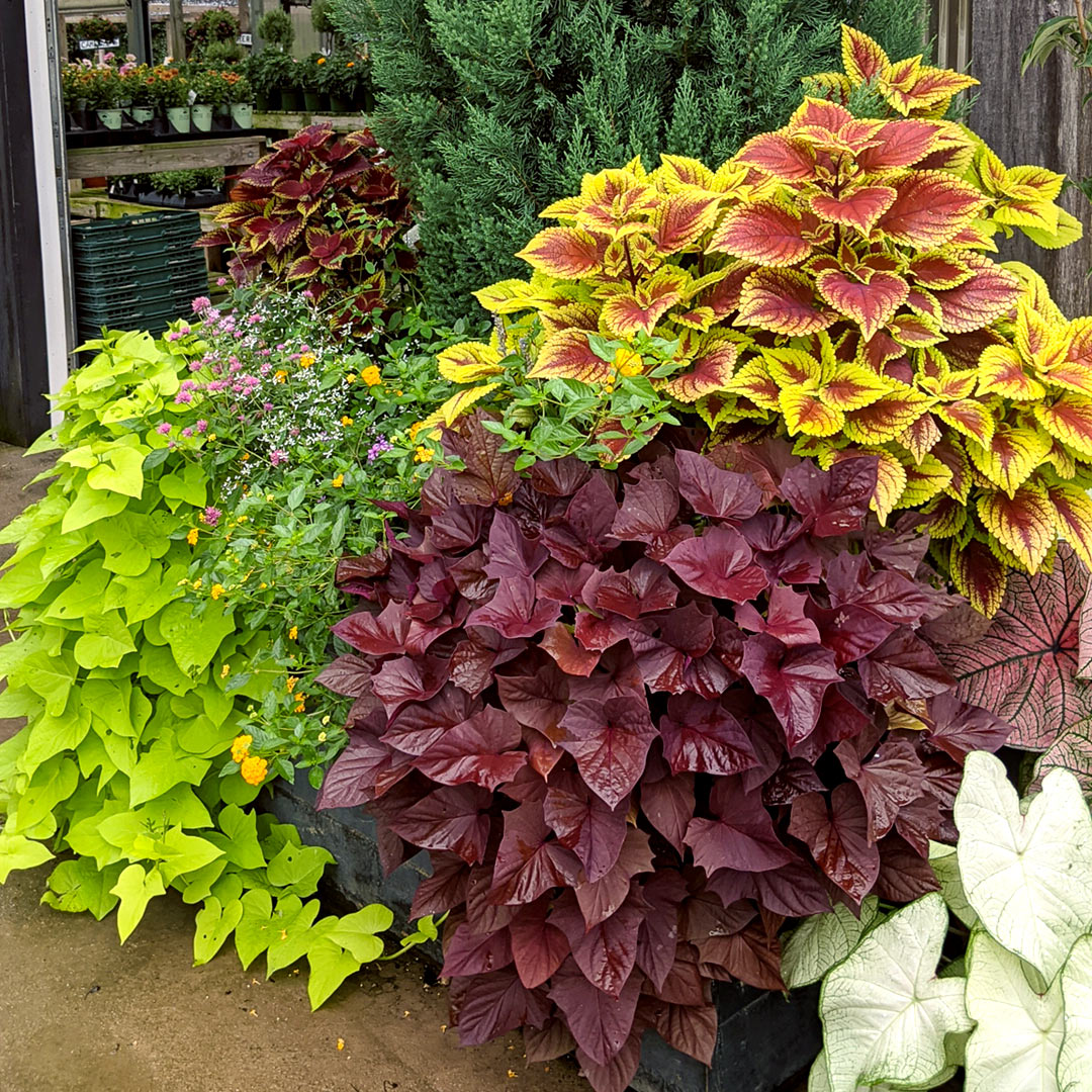 Add Cool-Season Flowers and Evergreen Perennials to Your Container Gardens